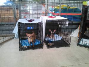 Chihuahua's found on the streets after the tornado hit